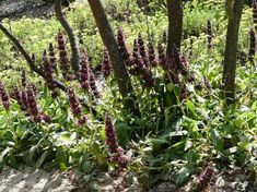 A clump of Salvia spathacea, Hummingbird Sage as groundcover under Desert Willow next to Sulfur Buckwheat. - grid24_12