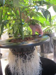 In aeroponics, plants are grown with their roots exposed to nutrient-rich vapors. Learn about aeroponics here. Marijuana Plants, Hydroponics, Aquaponics System, Indoor Aquaponics, Medical Cannabis, Medicinal Plants, Garden Projects, Horticulture, Herbalism