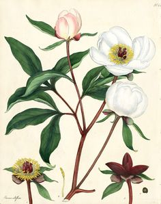 Antique Henry Andrews botanik w Repozytorium Drukuje 1797 Protea