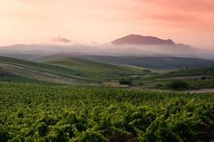 Sicilian vineyards at sunrise . #wines of #Sicily . Italy