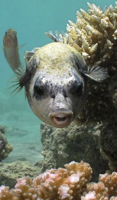 Masked puffer fish (Arothron diadematus) at Egyptian resort Madinat Makadi near Hurgada Life Under The Sea, Under The Ocean, Sea And Ocean, Underwater Creatures, Underwater Life, Ocean Creatures, Jacques Yves Cousteau, Fauna Marina, Beneath The Sea