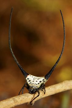 Long-horned Orb-weaver Spider (Macracantha arcuata) by itchydogimages, via Flickr
