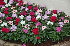 Dr. Dans Garden Tips: Vivid Vincas:  Many growers and suppliers may NOT be offering garden impatiens, or Impatiens walleriana because of a devastating downy mildew that kills the plants and has no cure. We do have other choices:  New Guinea Impatiens are resistant to this disease. But, those are usually offered by the plant, not in cell packs. Another option is Vinca, or periwinkle.