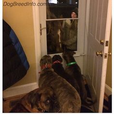 Bruno the brindle Boxer, Spencer the blue-nose brindle Pit Bull, Mia the American Bully and Leia the blue-nose Pit Bull are sitting in front of a door. On the other side of the door is a horse and a girl in a grey coat