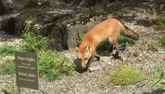 Red Fox Smells the Flowers at Montreal's Botanical Garden|Frame To ...