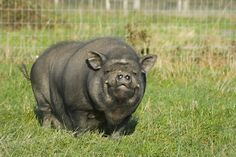 Fully-Grown Pig Found in Property by Landlord