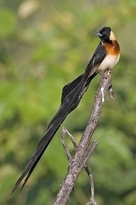 long-tailed paradise whydah  (photo by robert wienand)