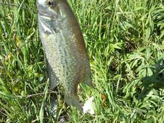 Guide to Fishing in Michigan 2012 - InfoBarrel.  This Speck Fish was a keeper.