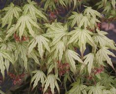 First Ghost (Acer palmatum 'First Ghost')