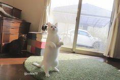 瀬戸にゃん ちさ@無重力 猫ミルコのお家(@ccchisa76)さん   Twitter