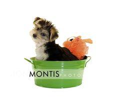 The Worlds cutest Morkie puppy. Tampa Wedding Photographer. Jon Montis Photography