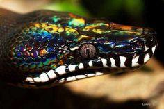 Радужный белогубый питон змея, питон, Рептилия, животные, террариумистика