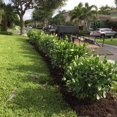Precious Tips for Outdoor Gardens In general, almost half of the houses in the world… Clusia, Florida Images, Best Garden Tools, Hedging Plants, Landscape Materials, Plant Design, Hedges, View Image, Amazing Gardens