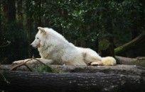 White Wolf Desktop Background wallpaper