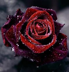 rose in the melting snow-I don't like roses but this is a cool pic.