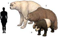 "Extinct Bears. 1. Short faced bear (""Arctodus simus"") 1897. 2. Cave bear (""Ursus spelaeus"") 1794. 3. Cat bear (""Ailurarctos lufengensis"") 1989."