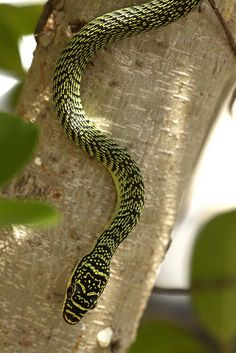 Golden Tree Snake - Chrysopelea ornata Despite the common name, the attractive patterning of Chrysopelea ornata (Colubridae) is actually green or greenish-yellow on a black background. This snake is...