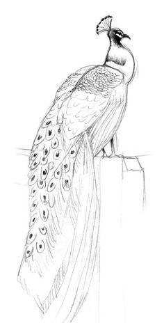 (Update: DONE! I drew this in pencil for Cameron. It turned out lovely.) peacock drawing