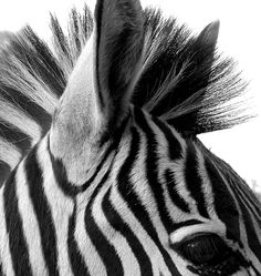 Zebras are super cute - and both black and white! Much like our new guardian angel - the Zebra angel! Animals Black And White, Black White, White Zebra, Black And White Pictures, White Style, White Art, Color Black, Animals Images, Animal Pictures