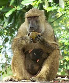 Yellow Baboon....................... (range: eastern & mid-south Africa)