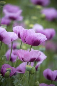 I want a yard full of purple poppies!!                           Purple Poppies by Richard Osbourne...♡