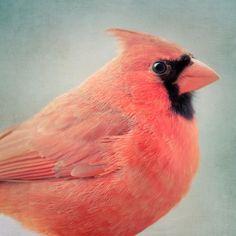 """Bird Portrait, Fine Art Bird Photography Print """"Red Cardinal No. 3"""""""