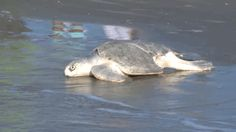 Watch These 11 Awesome Turtles Get Released Back Into The Wild