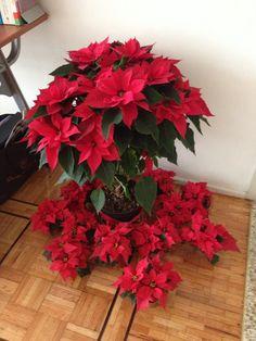 Hermosos colores de las noche buenas mexicanas. Un clásico de #Navidad