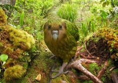 Kakapo in New Zealand. How cute is this? I don't even like birds!