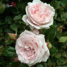'Constanze Mozart' Rose Photo