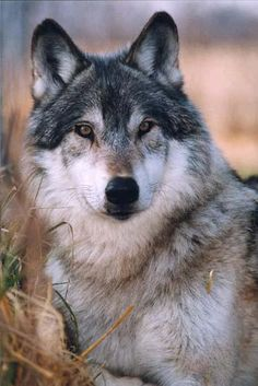 Before settlement , gray wolves roamed the country in hundreds of thousands .Now many are  extinct . The species remaining include the gray wolf and the Mexican Red  wolf. .Gray wolf. . Endangered. .