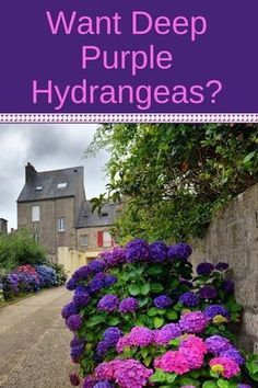 you wish for deep purple hydrangea flowers you'll love this quick guide to changing hydrangea colors. It's a simple addition to your soil that will transform your pink or blue hydrangeas into the most beautiful purple or lavender color. Hydrangea Colors, Hydrangea Care, Hydrangea Flower, Hydrangeas, Growing Hydrangea, Lilacs, Cactus Flower, Flower Beds, Gardening For Beginners