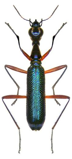 Neocollyris celebensis