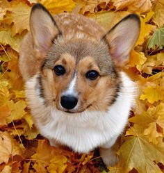 Welsh Corgi Pembroke - grew up with a corgi, so they have a special place in my heart