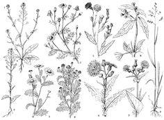 Рис. 2. Сорные растения: 1- пастушья сумка: а) с озимым циклом развития, б) яровая форма; 2 - ромашка обыкновенная; 3 - ромашка непахучая; 4 - ромашка пахучая; 5 - бодяк полевой; 6 - осот полевой; 7 - осот огородный; 8 - галинсога мелкоцветная; 9 - мятлик однолетний