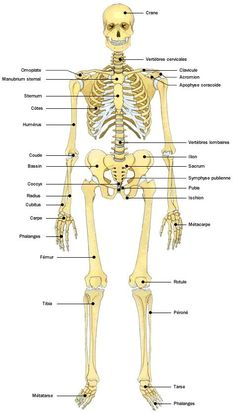 Anatomie atlas du corps humain squelette how to teach classical high school science Medical Technology, Science And Technology, Technology Articles, Human Skeleton Anatomy, Online High School, Medical Laboratory Science, Human Body Parts, Medical Anatomy, Human Anatomy And Physiology