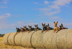 Australian Sheep Dogs, Outback Australia, Dogs With Jobs, Blue Heelers, Farm Dogs, Cattle Dogs, Herding Dogs, Medium Sized Dogs, Horses And Dogs
