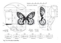 golden ratio butterflies - Buscar con Google
