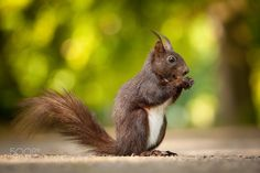 Squirrel by RobertAdamec #animals #animal #pet #pets #animales #animallovers #photooftheday #amazing #picoftheday