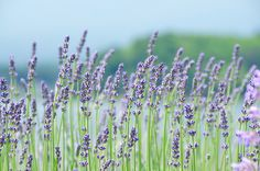 Lavender by Takechan-400, via Flickr