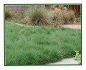 UC Verde Buffalo Grass