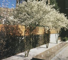 Multistemmed Amelanchier lamarckii in full flowers Modern Garden Design, Contemporary Garden, Landscape Design, Back Gardens, Small Gardens, Outdoor Gardens, Garden Trees, Terrace Garden, Mediterranean Garden