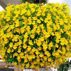 79 best yellow n gold flowers and plants images on pinterest mimulus vortex aka monkey flowers mightylinksfo