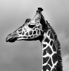 Giraffa camelopardalis, 2013. Photo © Katerina Kaloudi. http://www.yatzer.com/microcosm-macrocosm-katerina-kaloudi