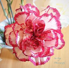 """""""Clairmont tilted forward, his face a foot away from mine. This morning he smelled sweeter, like a freshly picked carnation."""" A Discovery of Witches, All Souls Trilogy / Pictured: carnation or clove pink"""