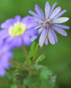 Windflower • Anemone blanda • Anemone • Plants & Flowers • 99Roots.com