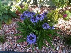 Full size picture of Portuguese Squill, Caribbean Lily, Cuban Lily, Giant Squill, Hyacinth of Peru (<i>Oncostema peruviana</i>)
