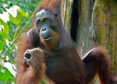 The Bornean orang-utan, Pongo pygmaeus, is the largest arboreal mammal. It spends almost all of its time in the trees, clambering between branches or using its body weight to bend and sway trees. More about this species on EOL:  http://eol.org/pages/326450/detail Image by Bernard Dupont via flickr (cc-by-nc-sa): http://www.flickr.com/photos/berniedup/8066226485/