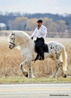 leopard friesian - Mystic Warrior  >is this the same horse that I have seen photos of when he was young; he was black with white spots then>?