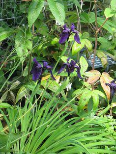 Iris cf. gracilipes purple/gold ex Min-ya-Konka